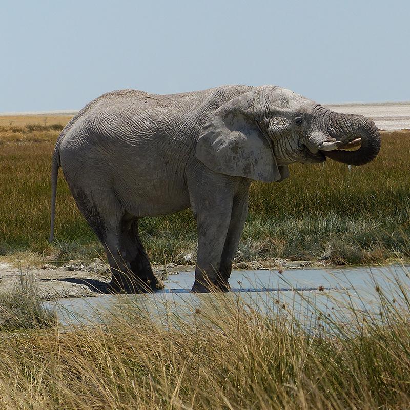 Elephant à Etosha