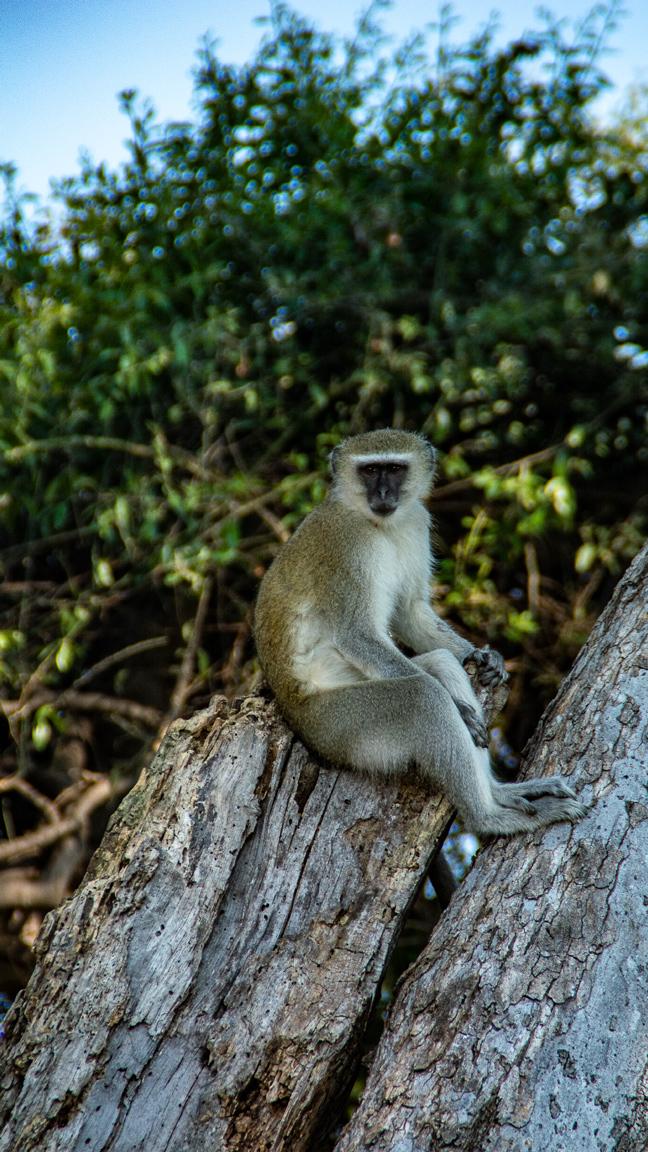 Singe assis au Chobe National Park