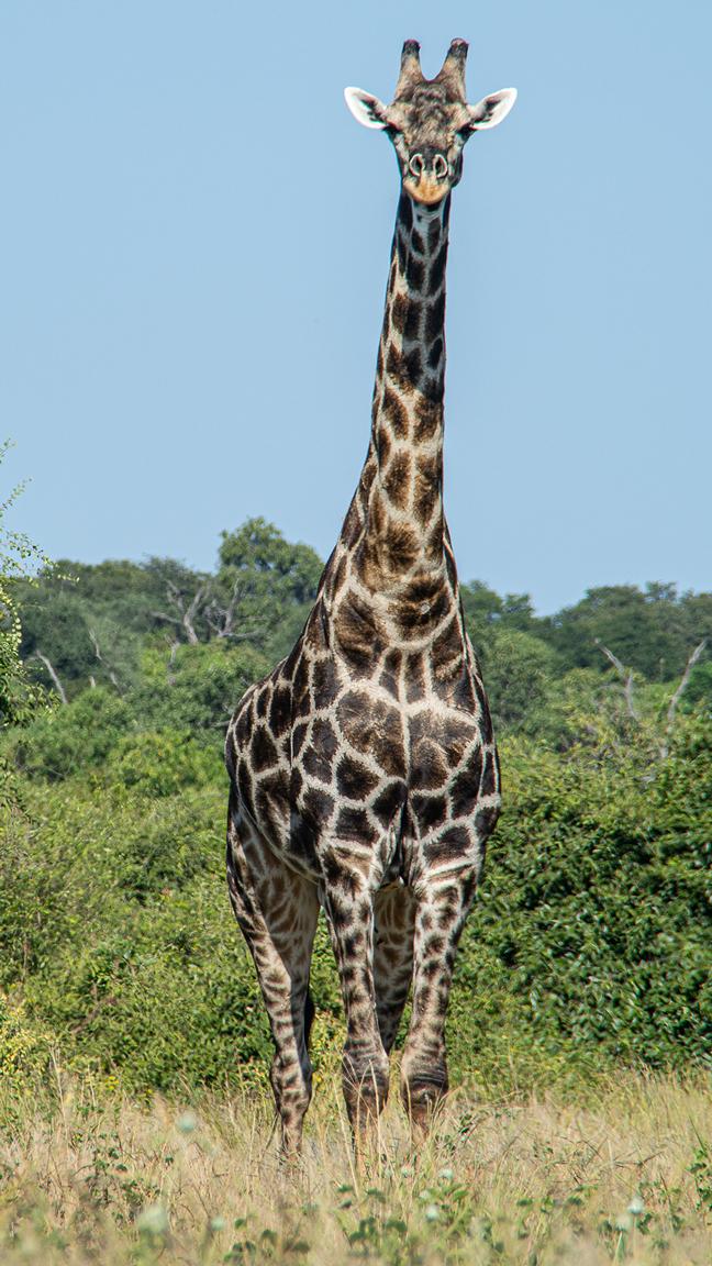 Girafe au Chobe National Park
