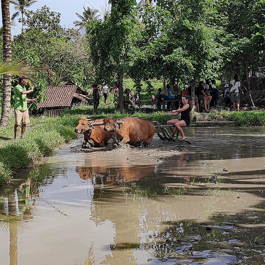 Boeuf labourant un champs à Bali