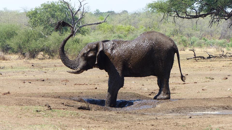 éléphant à Caprivi